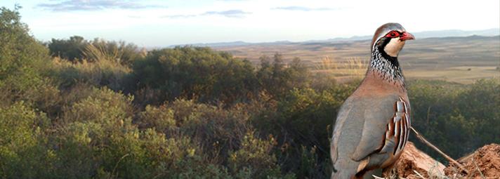 Ojeos de perdiz roja en Toledo La Mancha