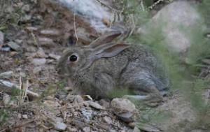Descaste de conejo en la mancha Toeldo