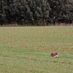 cazar liebre en la mancha, Toledo